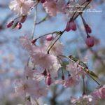 桜と薔薇モチーフの布1-平成最後のお花見によせて